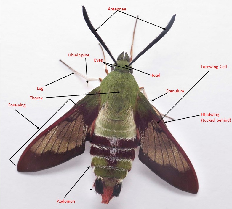 General Information - SPHINGIDAE OF THE UNITED STATES OF AMERICA